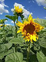 Семена подсолнечника Меркурий ИМИ (стандарт)