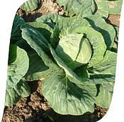 Рапидион F1 капуста очень ранняя Seminis 2500 семян