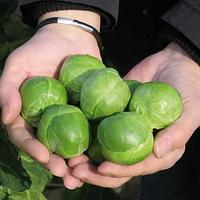 Семена капусты брюссельской Франклин F1, Bejo 2 500 семян (калибр)   профессиональные