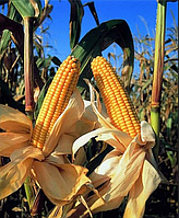 Семена кукурузы ТАР-349 МВ, ФАО 290