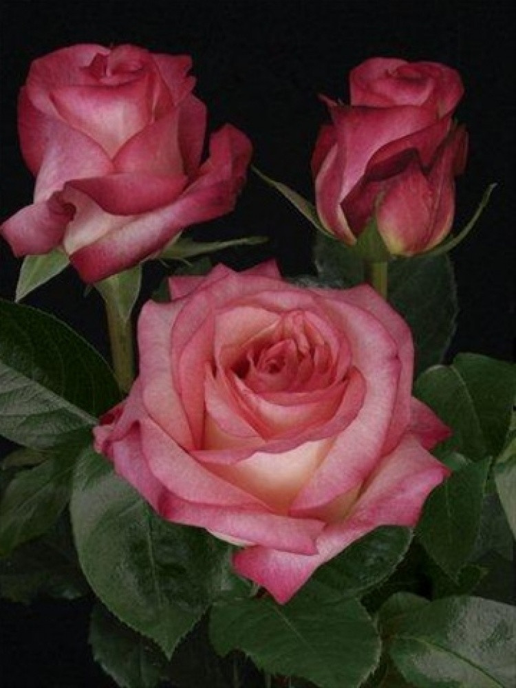 Роза Экстрим (Extreme) Ч/Г