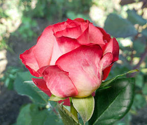 Роза Экстрим (Extreme) Ч/Г, фото 2