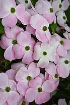 "Дерен флорида "" Стеллар Пинк""  \ Cornus florida  Stellar Pink ( саженцы 2года 30-50см) Дерен китайский, фото 2"