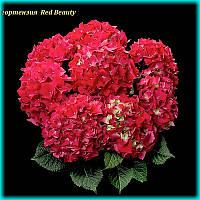 Гортензия крупнолистная Red Beauty (Ред Бьюти) 3год, фото 1