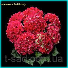 Гортензия крупнолистная Red Beauty (Ред Бьюти) 3год