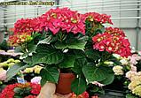 Гортензия крупнолистная Red Beauty (Ред Бьюти) 3год, фото 2