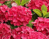 Гортензия крупнолистная Red Beauty (Ред Бьюти) 3год, фото 3