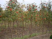 Рябина обыконовенная Sorbus aucuparia