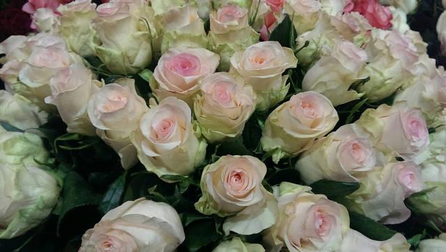 Розы Senorita