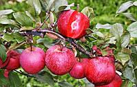 Черенки яблони с красной мякотью Байя Мариса