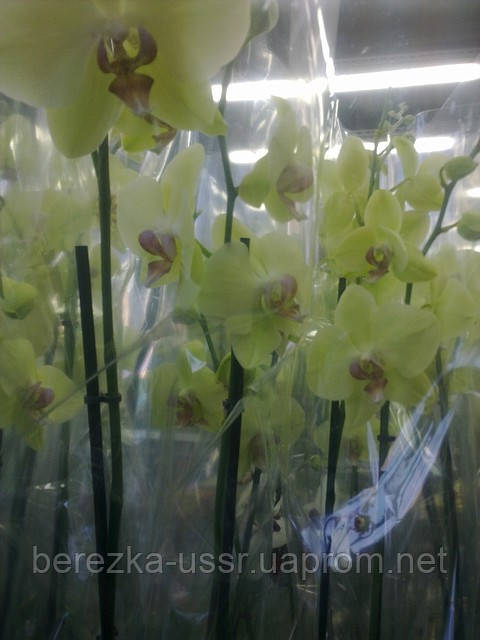 Орхидея Лимонная 1 цветонос