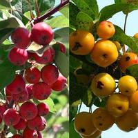 Дерево сад райская яблоня