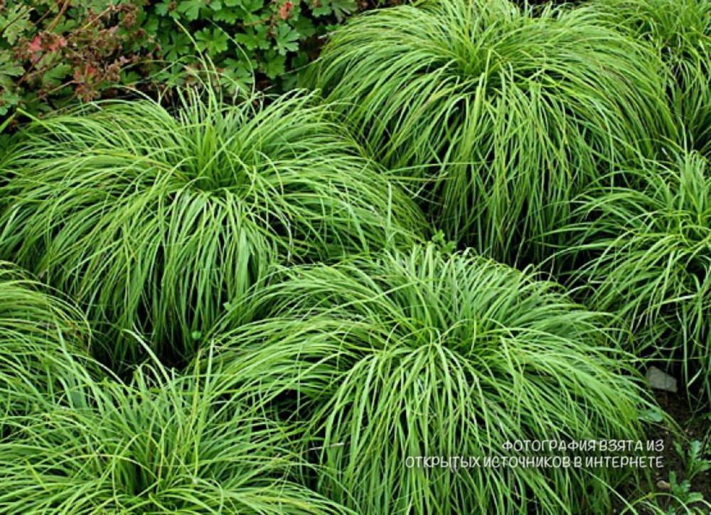 Семена Осока   Carex caryophyllea «The Beatles»