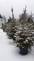 Живая Елка в горшке к Зимним праздникам миф или реальность?
