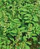Семена базилика Лимонний 5 кг. Коуел