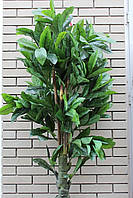Фикус дерево