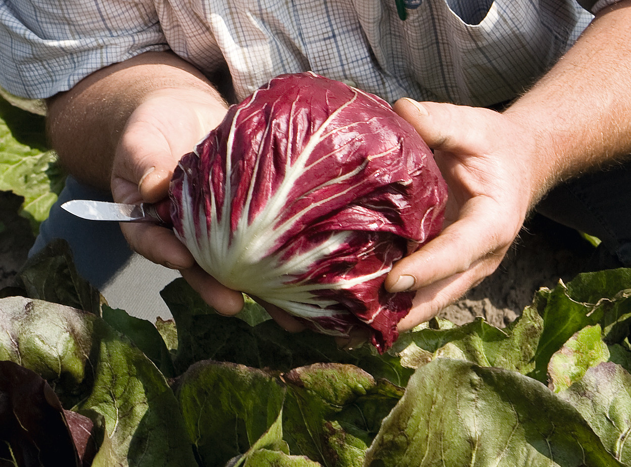 Леонардо F1 - семена цикория салатного, Bejo Zaden - 5 000 семян