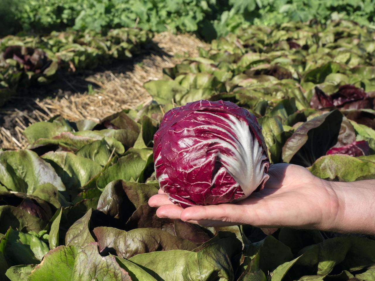 Васари F1 - семена цикория салатного, Bejo Zaden - 5 000 семян