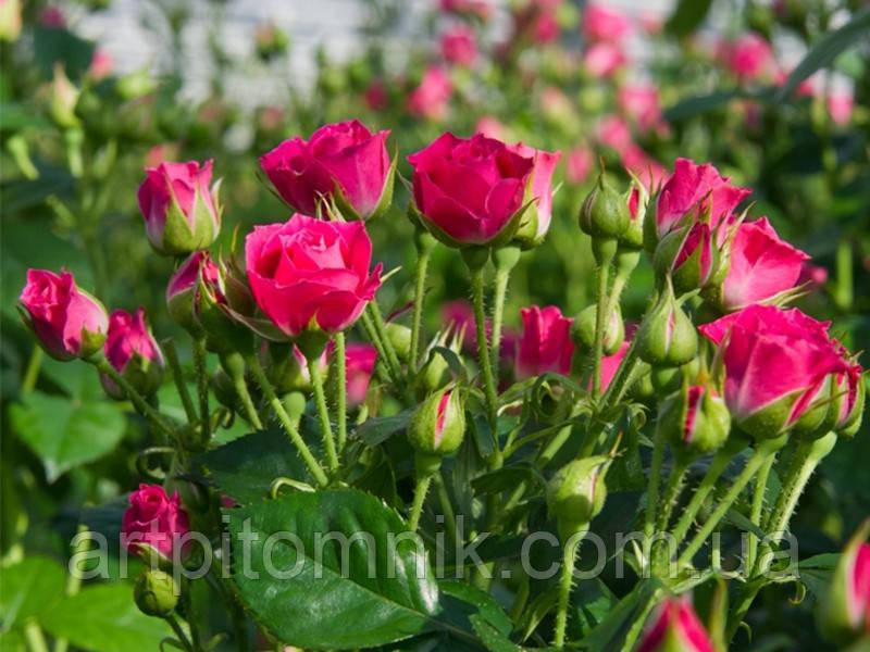 Роза спрей Ред Малиновый