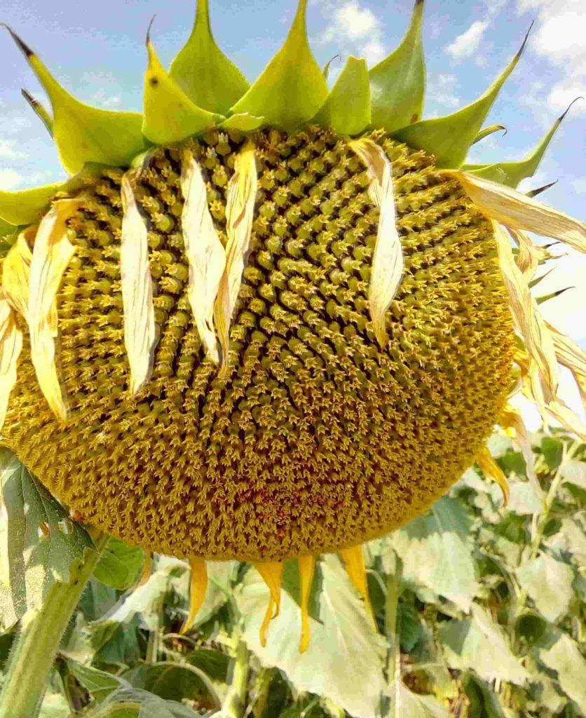 Семена подсолнечника Хайсан 158IТ (Hysun 158 IT)