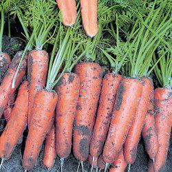 Семена моркови Канада F1, 25 000 сем. 1,6-1,8