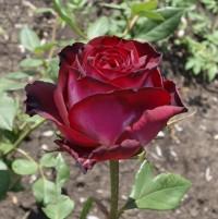Чайно - гібридна троянда Госпел