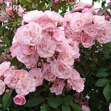Роза Хевенли Пинк (Heavenly Pink) Шраб, фото 2
