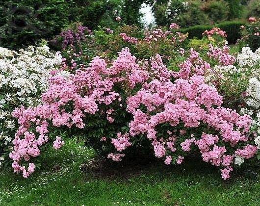 Роза Хевенли Пинк (Heavenly Pink) Шраб