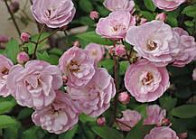 Роза Хевенли Пинк (Heavenly Pink) Шраб, фото 3