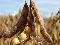 Насіння сої Хайпро (1 репродукція) | США