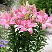 Лілія азіатська низькоросла (горшечна) Розалін rozalynn 14/16 Нідеранди