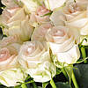 Крупная белая роза Senorita