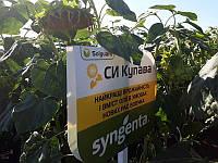 Семена подсолнечника СИ КУПАВА (SI KUPAVA)