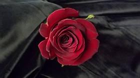 Роза Форевер Янг (Forever Young) Ч/Г, фото 3