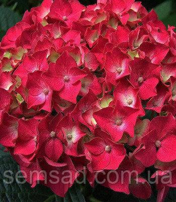 Гортензия крупнолистная Саксон Бридж Ред \ Hydrangea Saxon® Bright Red ( саженцы )