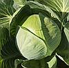 СТРУКТОН F1 - семена капусты белокочанной калиброванные