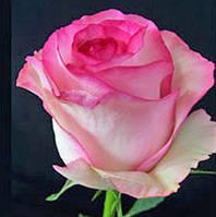Нежно розовая двухцветная роза Bela Vita (Белла Вита) оптом