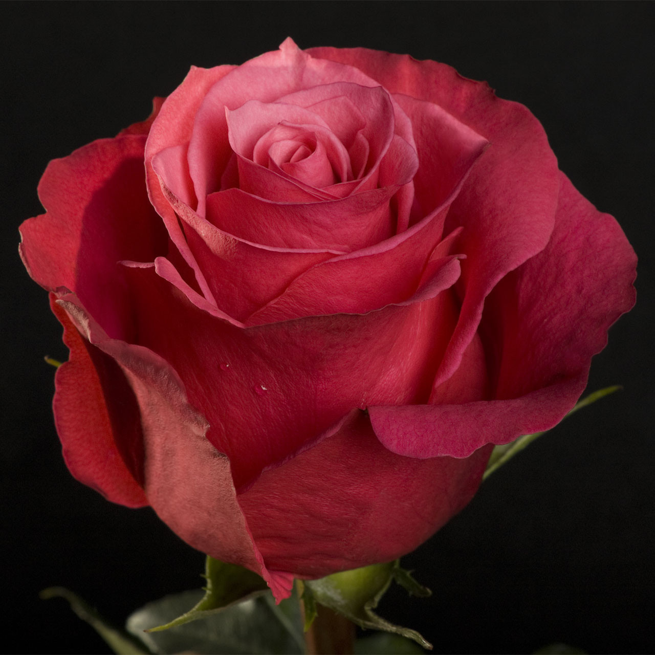 Шикарна троянда з доставкою Cherry O. (Черрі О) оптом
