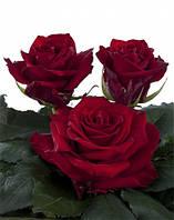 Темная красная роза Explorer (Эксплорер) оптом, фото 1
