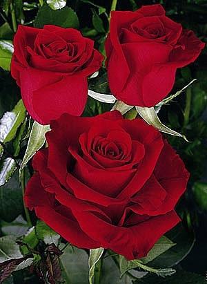 Роза свіжа велика Freedom (Фрідом) оптом