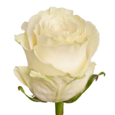 Белая роза свежая Mondial (Мондиаль) оптом