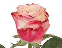 Нежная роза поштучно Sweetness (Свитнес) , фото 1