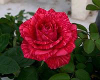 Полосатая роза свежая Red Intuition (Ред интуишн), фото 1