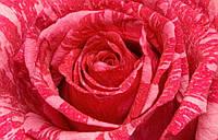 Полосатая роза крупная Pink Intuition (Пинк Интуишн) , фото 1