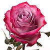 Ярко-розовая роза Deep Purple (Дип Перпл)