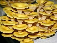 Мицелий Вешенки лимонной (5 грибных палочек)