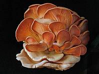 Мицелий Вешенки Розовый фламинго (5 грибных палочек)