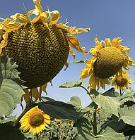 Семена подсолнечника Альварез (цена договорная)