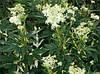 БАЖ Спориш звичайний (Apolygonum aviculare), фото 3