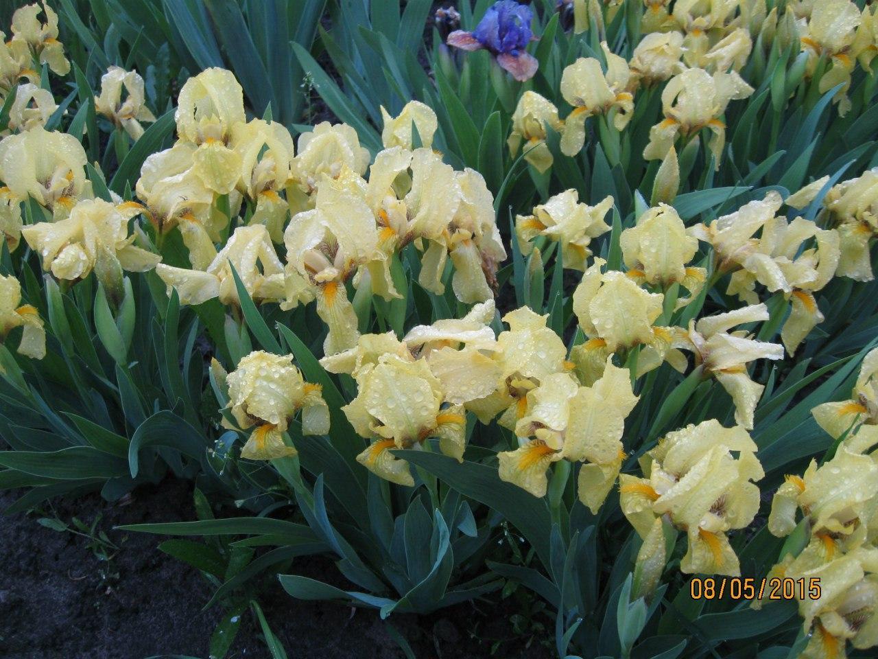 Ирис желтый карликовый